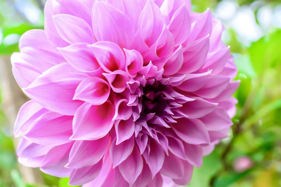 【花言葉】ダリアの花言葉とは? l MOTEHANA モテハナ